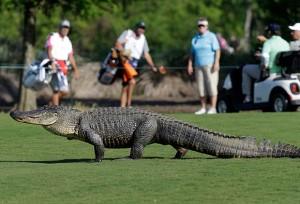 alligator--main_1717664a